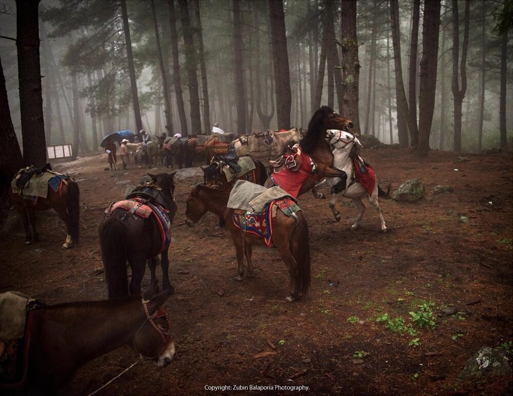 Bhutanese Sparring Stallions