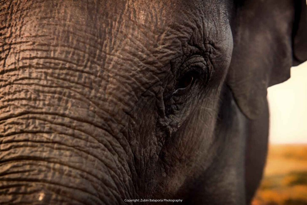 In the Eye of the Elephant