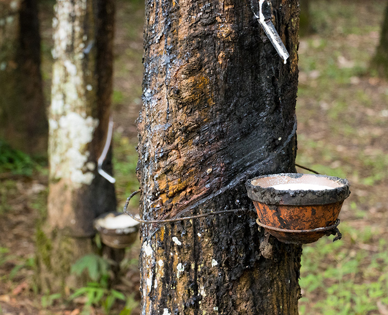 Hevea Brasiliensis  trees are tapped and the liquid latex collected by hand.