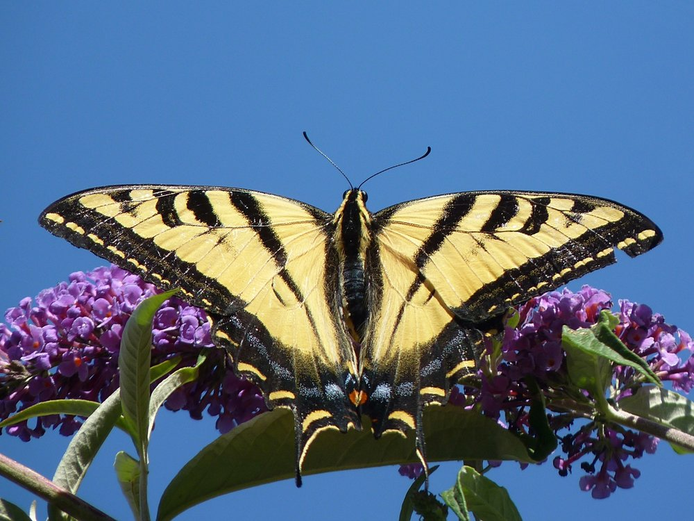 A Western Tiger Swallowtail butterfly in all its glory. Photo courtesy Mathesont @ flickr