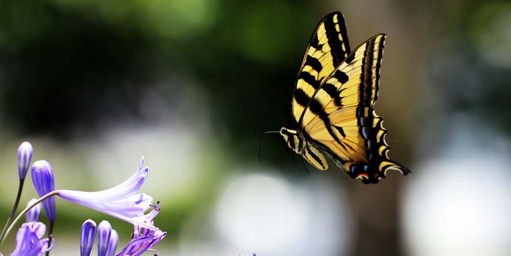 A Swallowtail out for nectar. Photo courtesy siamesepuppy @ flickr