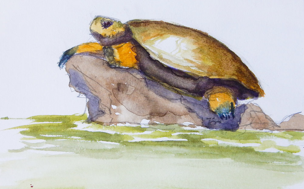 El Jefe (Western Pond Turtle)