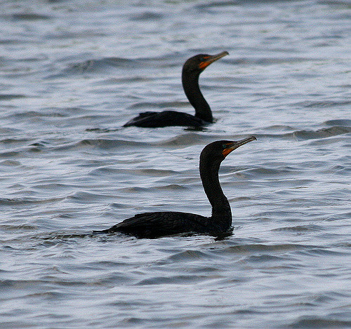 Bad ass cormorants - They dress in black and hunt in packs.
