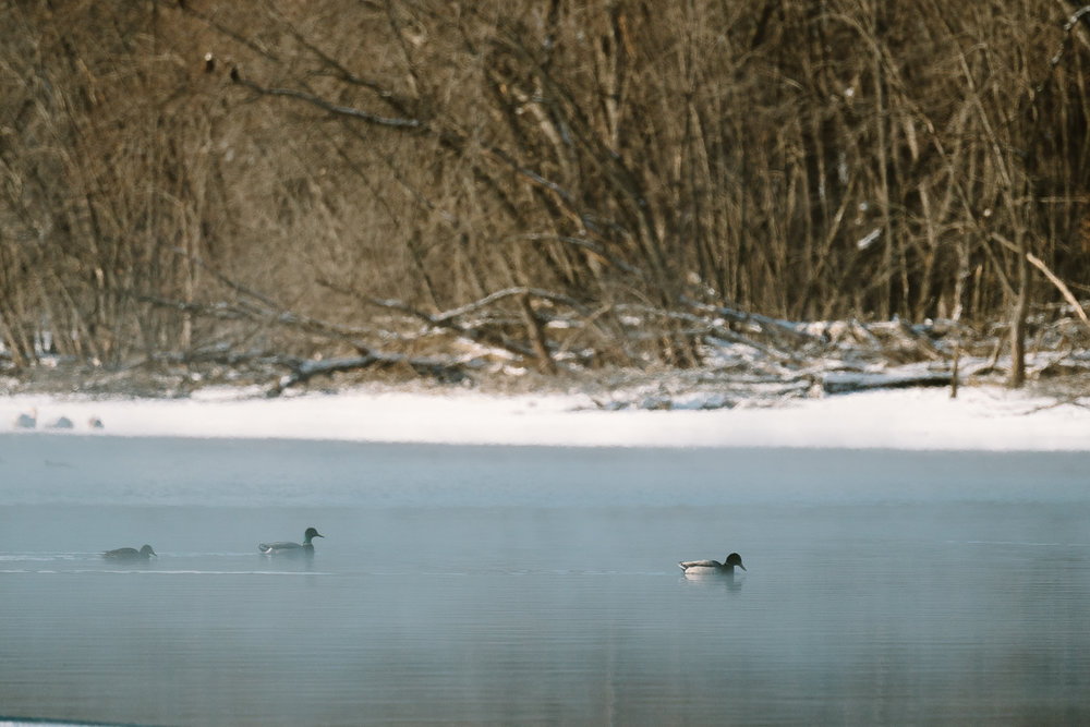 Mallard Ducks at Colvill Park in Red Wing, Minnesota
