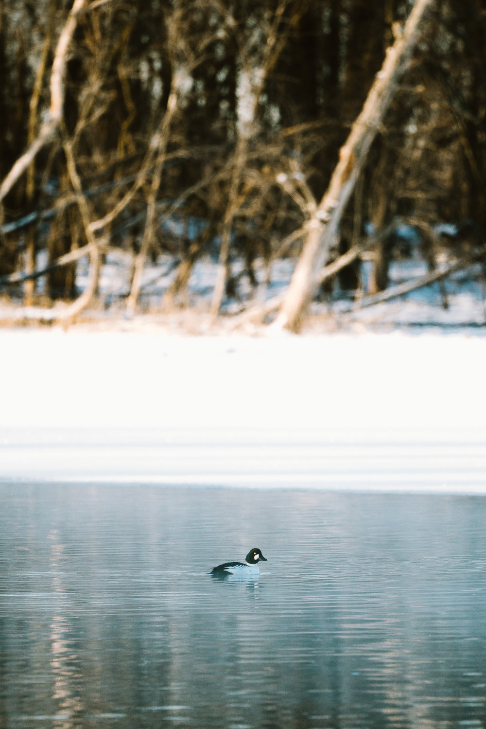 GoldenEye Duck at Colvill Park in Red Wing, Minnesota