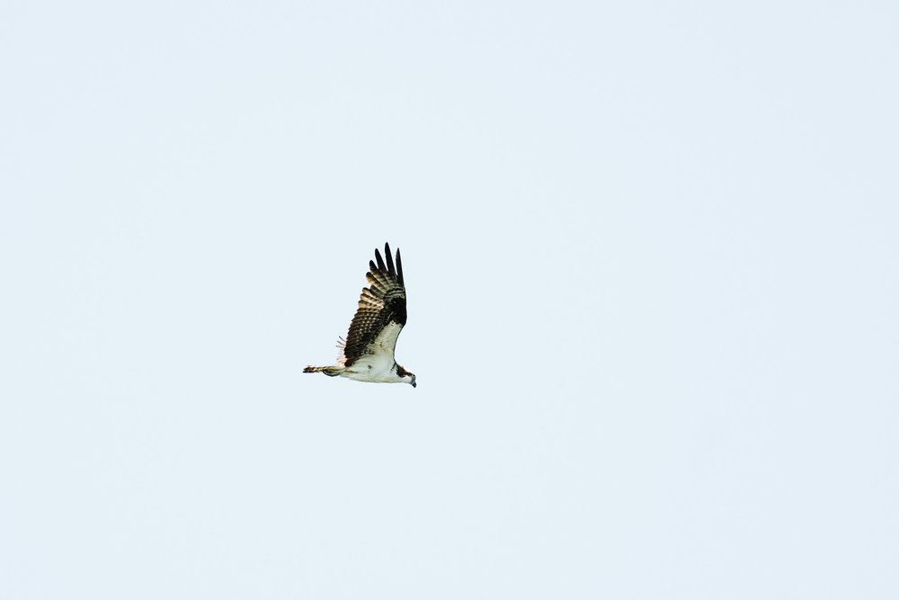 Osprey flying above the Puget Sound