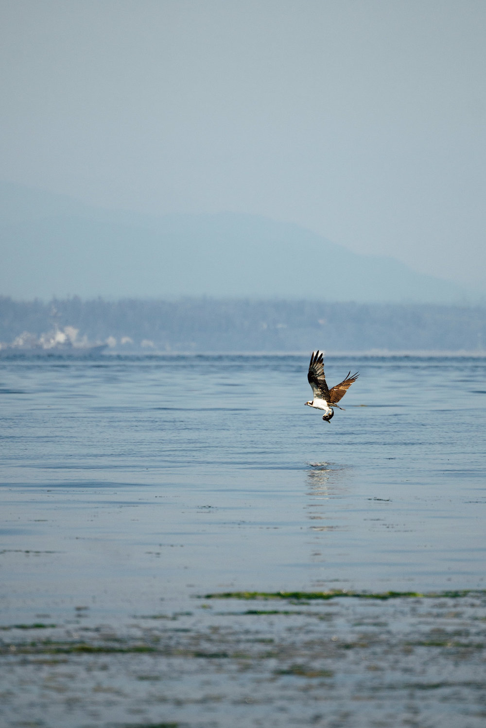 Osprey with a flounder on the shores of the Puget Sound in Seattle, Washington