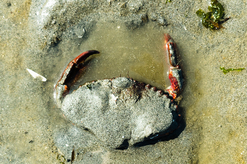 Rock Crab digging in the sand on the shores of the Puget Sound in Seattle, Washington