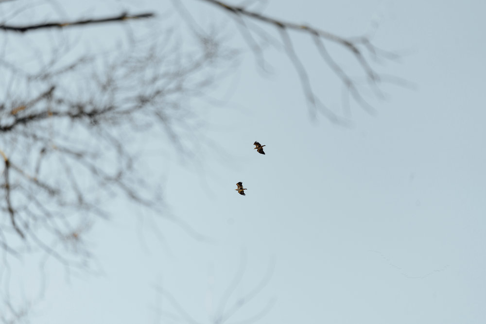 Juvenile Bald Eagles Flying Away Out of a Death Spiral by Seattle Conservation Photographer Sara Montour Lewis
