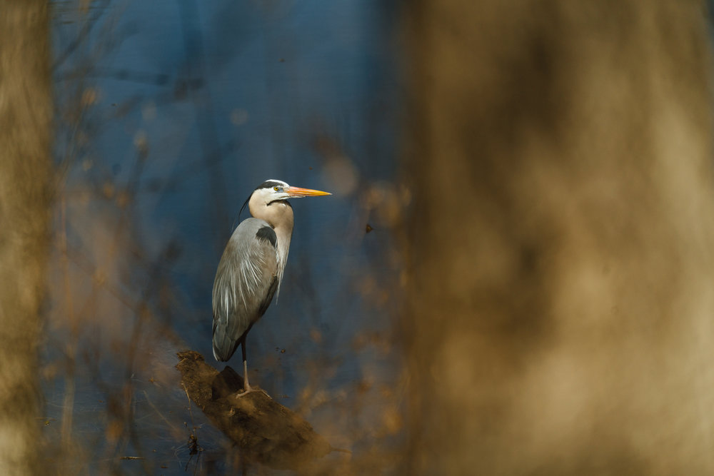 Great Blue Heron on a pond by Seattle Wildlife Conservation Photographer, Sara Montour Lewis