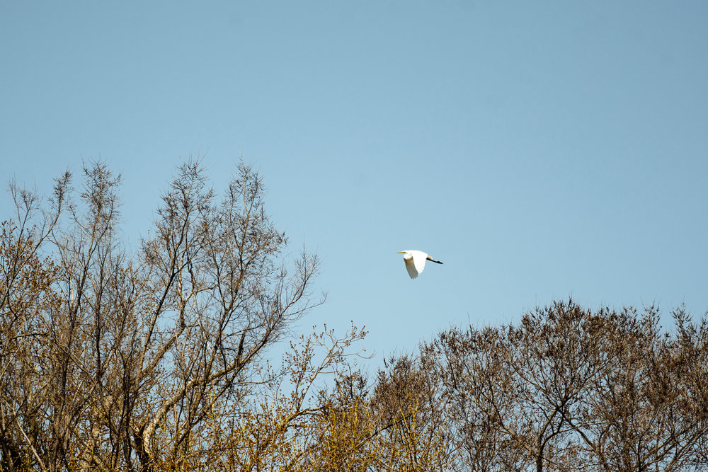 An Egret flying through the air by Seattle Wildlife Conservation Photographer, Sara Montour Lewis