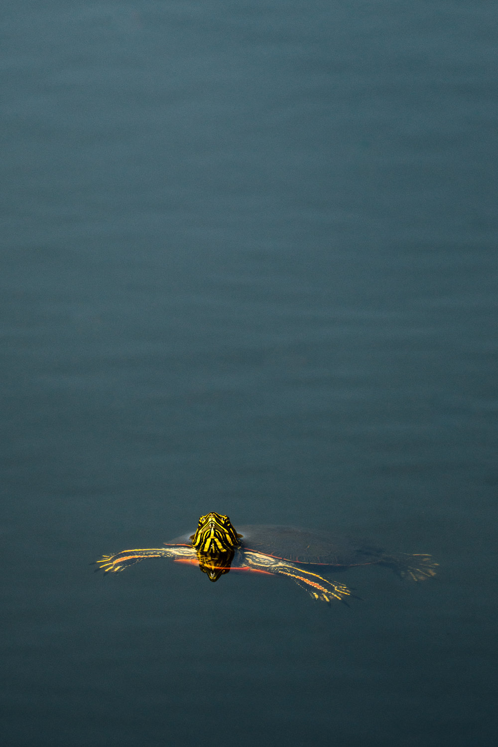 A painted turtle swims in a pond by Seattle Wildlife Conservation Photographer, Sara Montour Lewis