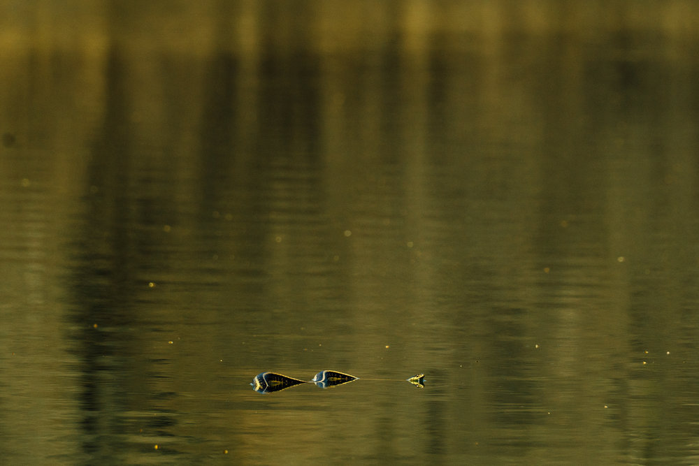 A photograph of a garter snake swimming on a lake