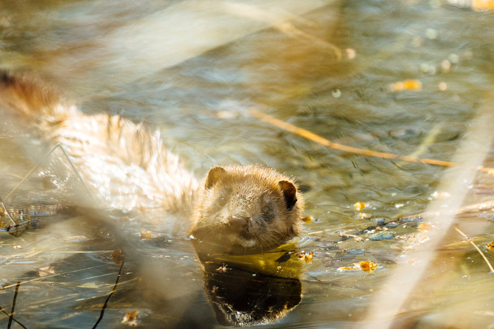 A mink on the edge of a pond by wildlife photographer, Sara Montour Lewis