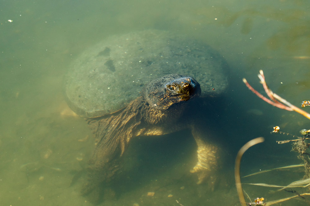 A snapping turtle coming up for air on a pond by Seattle Wildlife Photographer, Sara Montour Lewis