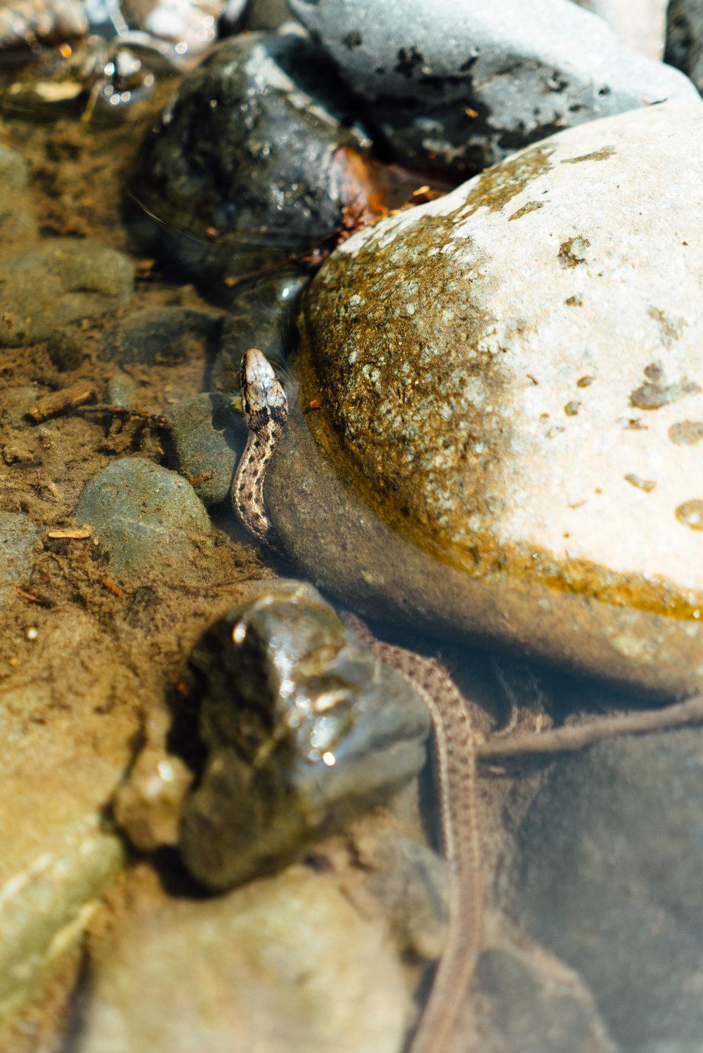 Stock Photograph of a Garter Snake Underwater