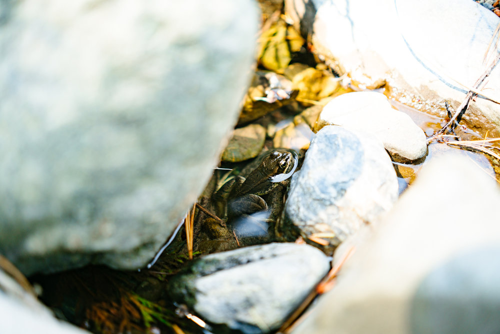 A frog underwater in the Teanaway River near Cle Elum, Washington