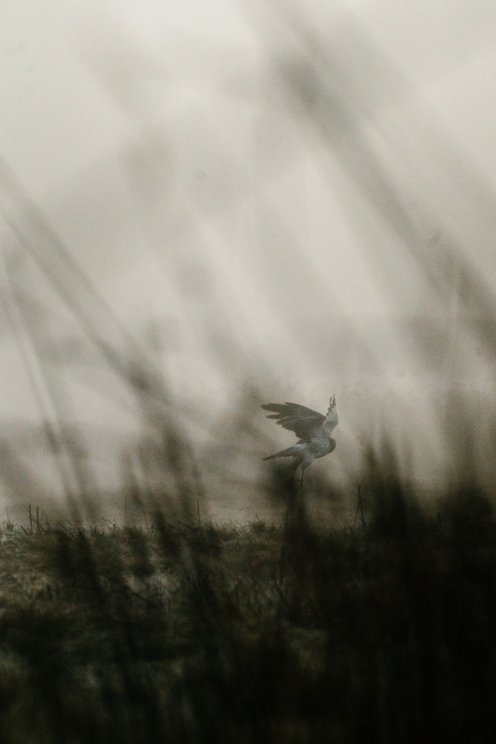 Photograph of a Northern Harrier on the Samish Flats in Washington State