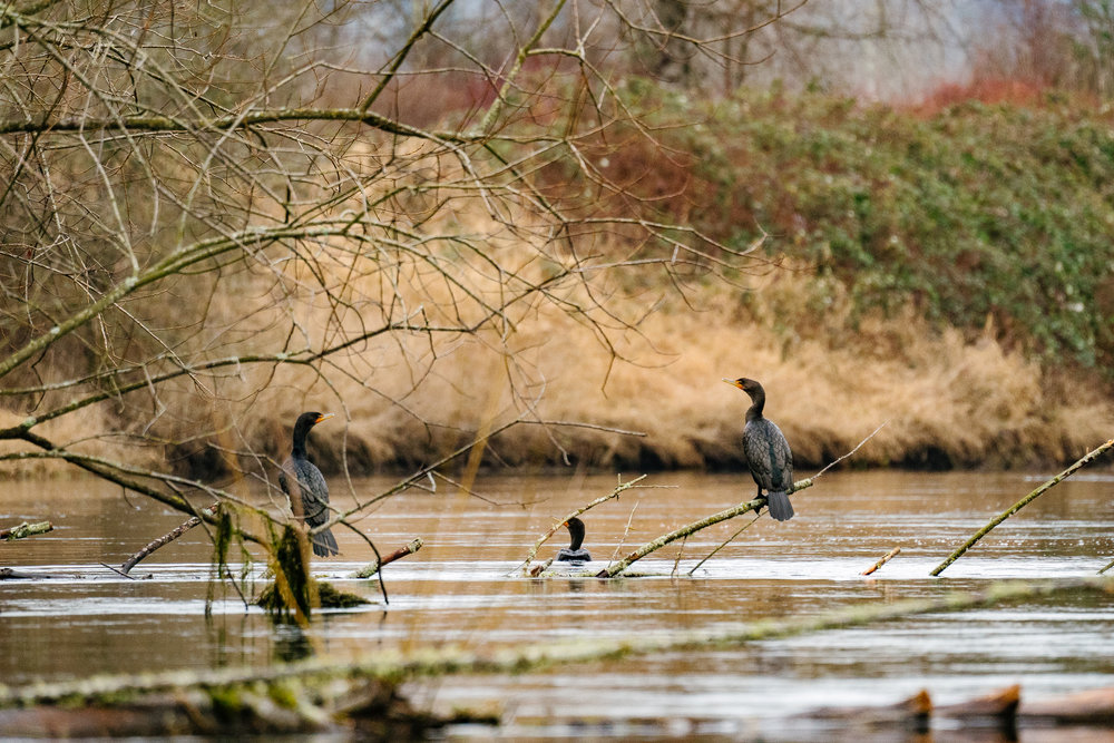 Double-Crested Cormorants on the Sammamish River in Redmond, Washington by Conservation Photographer, Sara Montour Lewis