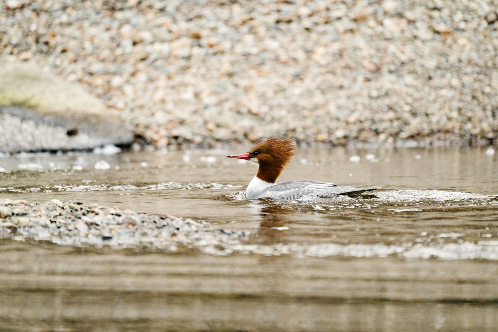 A female Common Merganser on the Sammamish River in Bothell, Washington