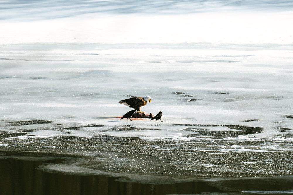 Minnesota River Bald Eagle Photographs