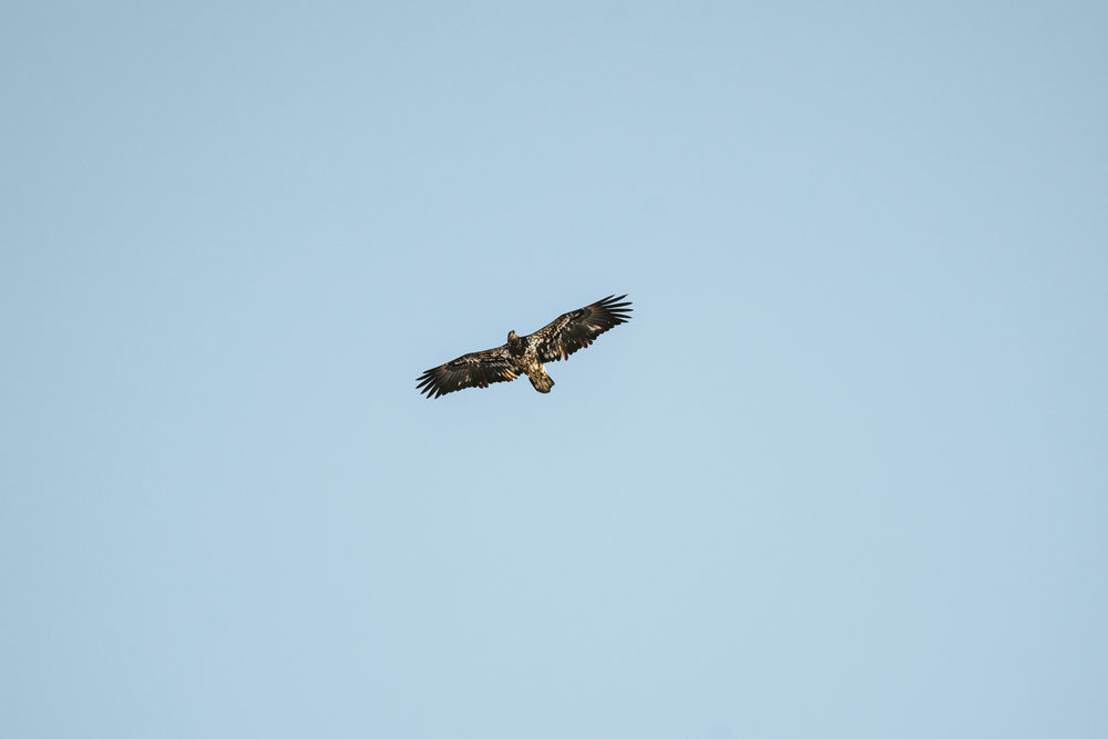 Where to see bald eagles near Minneapolis