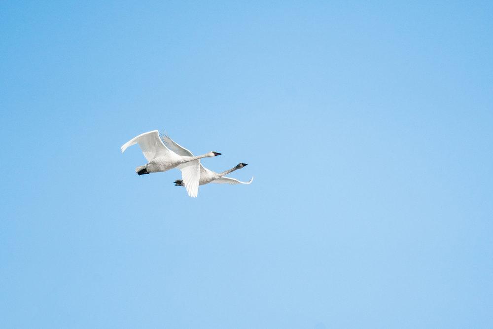 Tundra Swans Flying in Minnesota