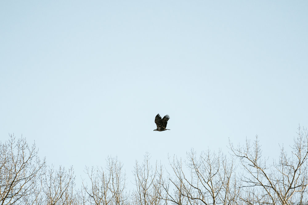 Best place to find Bald Eagles in Minnesota