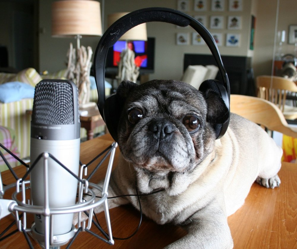 pug dog lying on a table by podcasting equipment