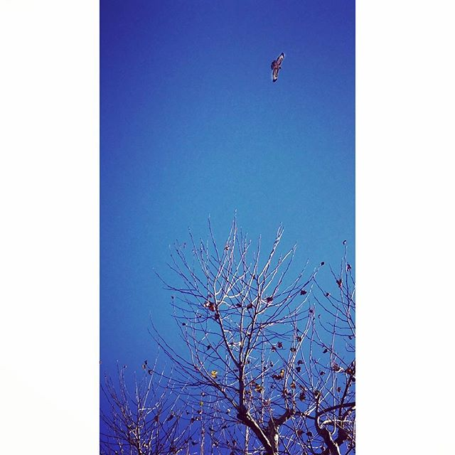 Ooo! Was finally on the upswing from my illness today and took the boys for a proper #morning #walk. As we got back to our building, I looked #up to see this #hawk circling above. May it be a #good #omen for 2019!!!. . . . #alwayslookup #urban #wildlife #nature #naturephotography #street #streetphotography #bird #aviary #augury #goodluck #signs #losangeles #westside #entrepreneur #entrepreneurlife #mission #vision #manifest