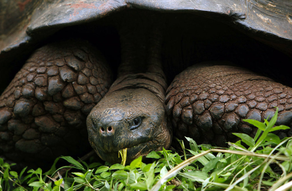 Giant Tortoise - The Galapagos Islands