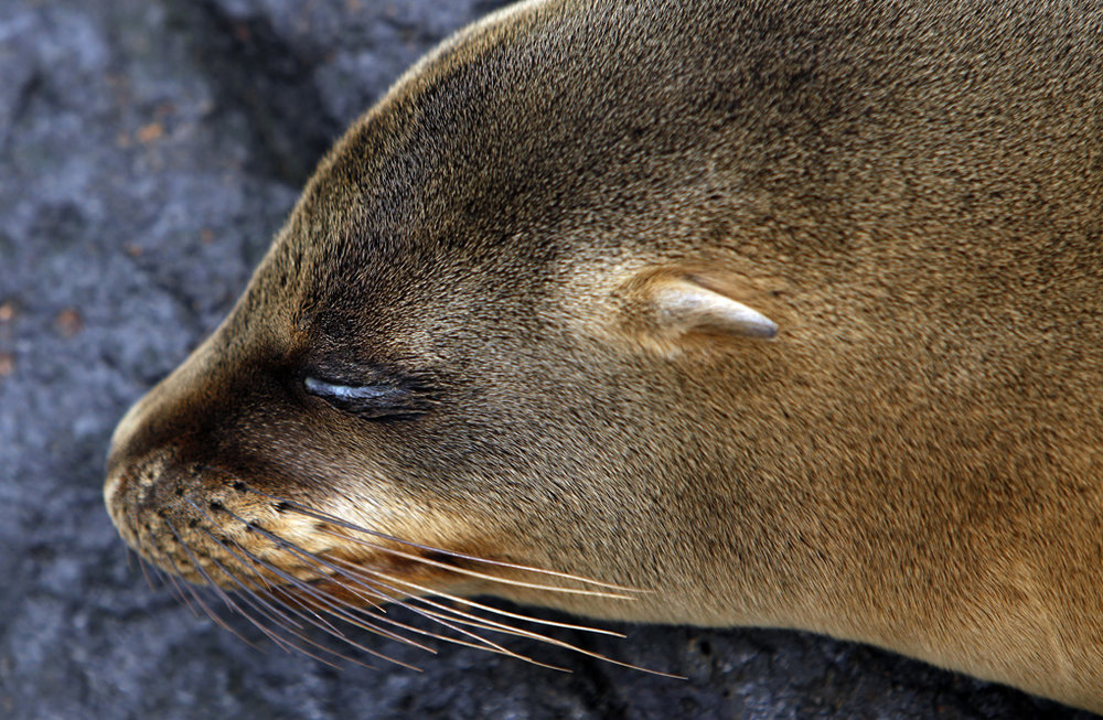 Young Sleeping Sea Lion - The Galapagos Islands