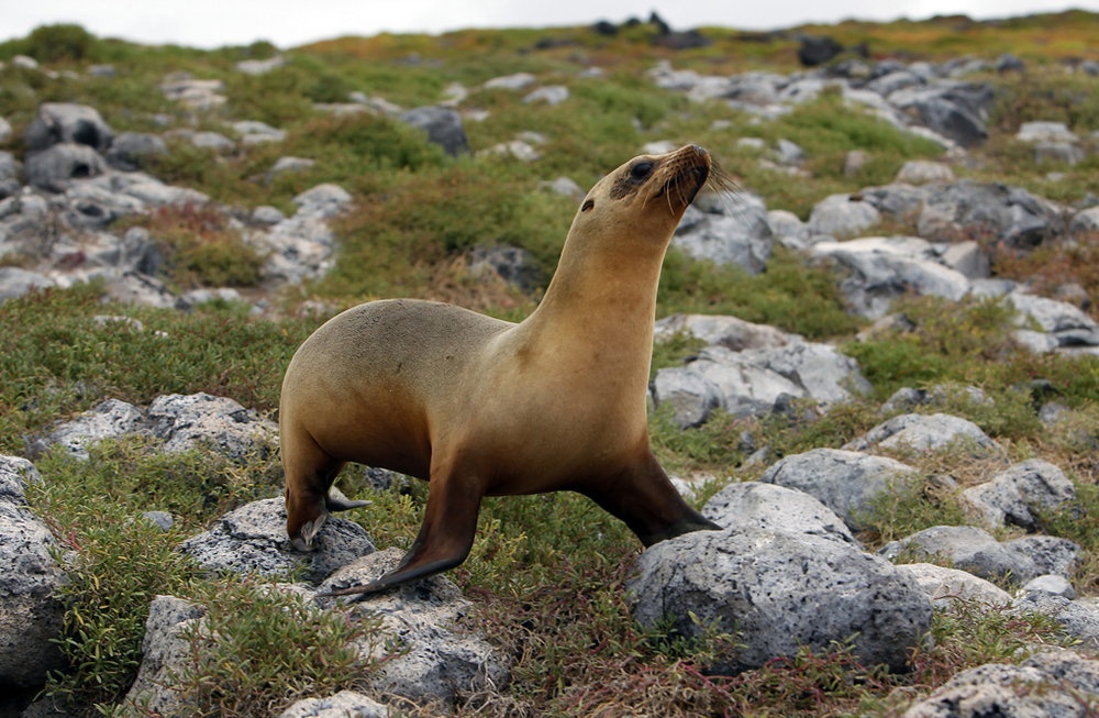 Young Sea Lion - The Galapagos Islands