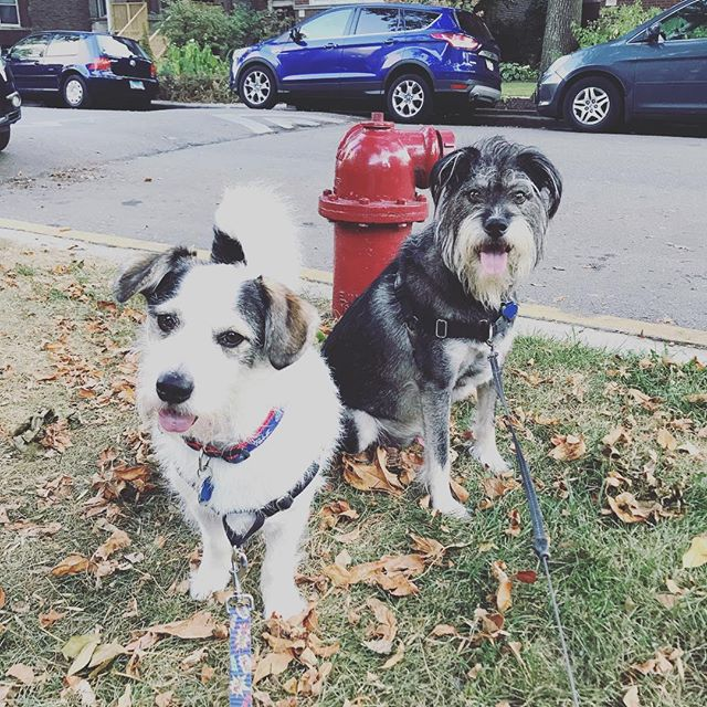 The newest addition to the Windy City Pooch family! Badger and Macduff, two most handsomest dudes! #wcpfamily #dogsofchicago #pupsofandersonville #dogsofandersonville #pupsofinstagram #dogsofinstagram #pupsofchicago #doggos #puppers #handsomedog #dogsofchicago #chicagodogs #pupstagram #instapets #pets #dogs #instadogs #petstagram #dogstagram #dogsofinstagram #rescuedogsofchicago #rescuedogs