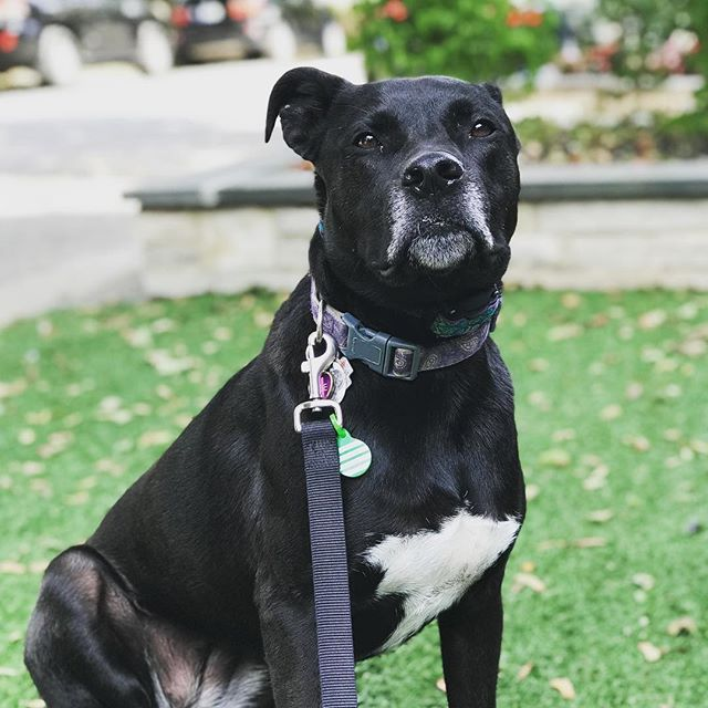 Meet Zoe, such a sweetheart! The newest member of the WCP family! #wcpfamily #dogsofchicago #pupsofwrigleyville #pupsofinstagram #dogsofinstagram #pupsofchicago #doggos #puppers #handsomedog #dogsofchicago #chicagodogs #pupstagram #instapets #pets #dogs #instadogs #petstagram #dogstagram #dogsofinstagram #rescuedogsofchicago #rescuedogs
