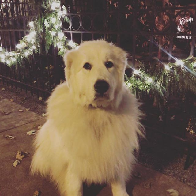 Rica extremely excited about the Christmas lights going up around the neighborhood! #wcpfamily #dogsofchicago #dogsoflincolnpark #pupsoflincolnpark #pupsofinstagram #dogsofinstagram #pupsofchicago #doggos #puppers #handsomedog #dogsofchicago #chicagodogs #pupstagram #instapets #pets #dogs #instadogs #petstagram #dogstagram #dogsofinstagram