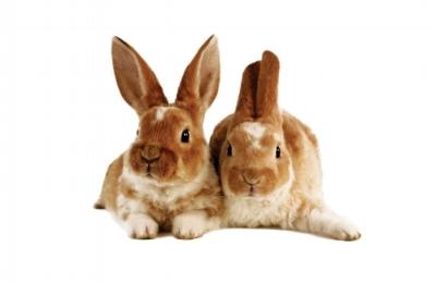 Two Brown Rabbits.onwhite.jpg