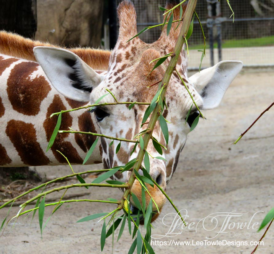 Beautiful nature photography of a giraffe eating. This nature photography is available on a variety of print wall art and home decor items through Fine Art America.