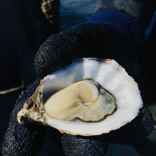 Spawning season definitely over!! Serving these sweet oysters @tastingaustralia Feast on Yorkes #barleystackswines #yorkepeninsula #satourism #oysters