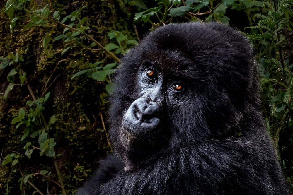 A mountain gorilla in Rwanda. Courtesy of Harold Vanderschmidt.