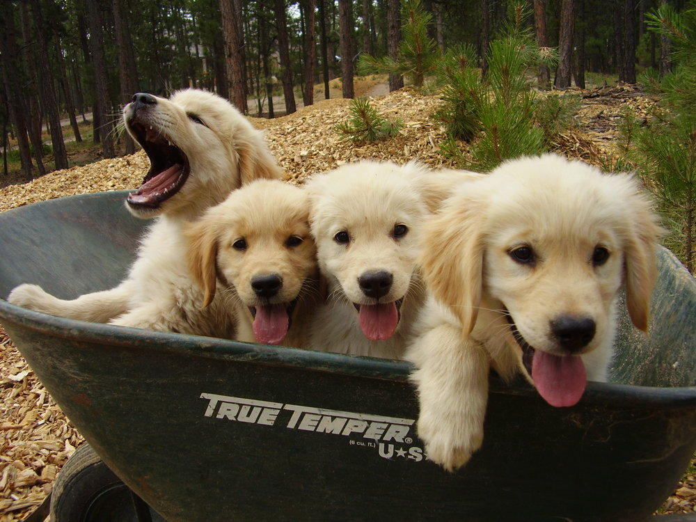 Golden retriever puppies for sale denver