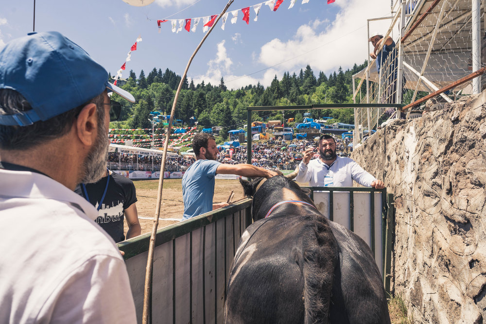 Getting the bulls ready, Kafkasör 2018, Artvin