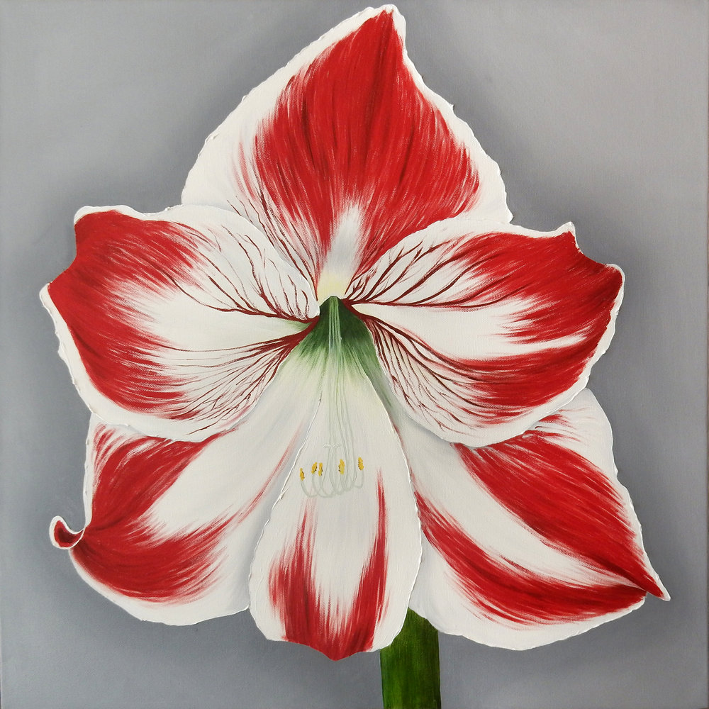 Red and White Amaryllis  2017 Oil on canvas 24 x 24 x 1.5 inches