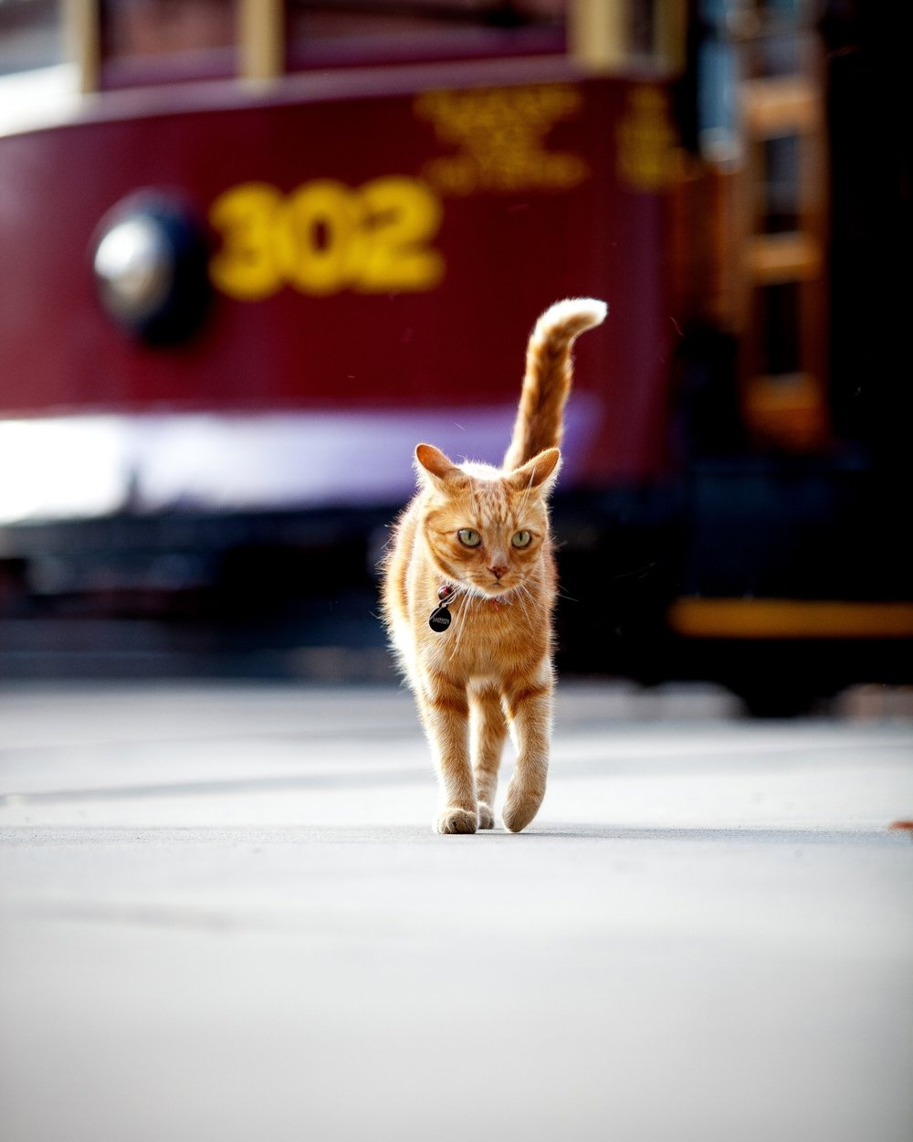 Birney the cat in front of Birney Tram No 302.jpg