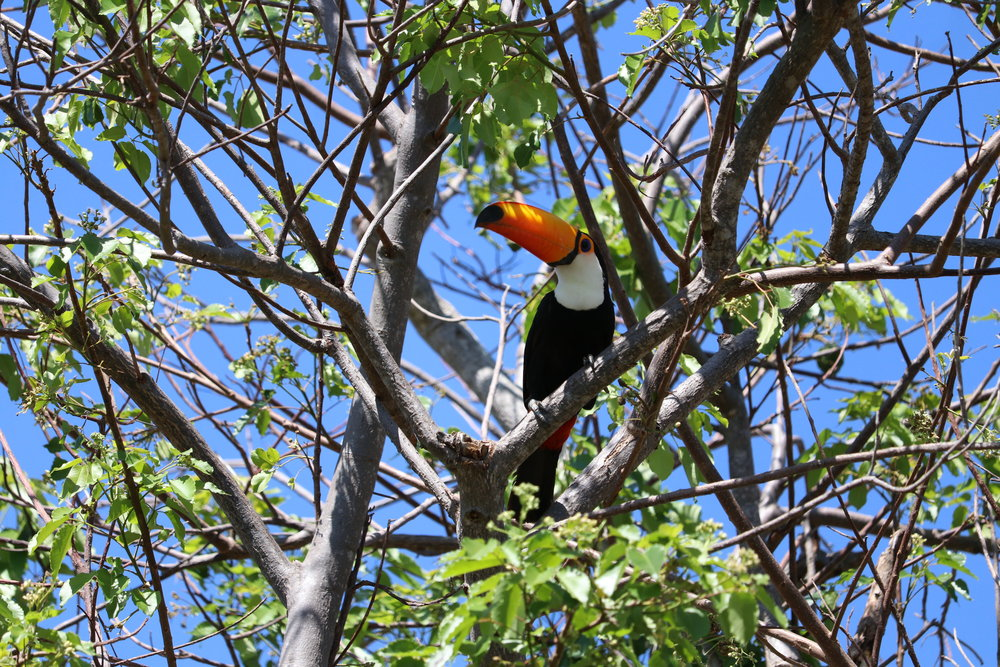 common to see toucans
