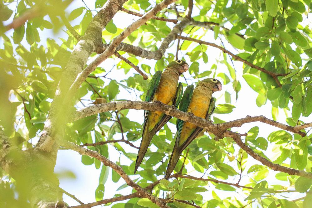 Parrots (papagaios), also common