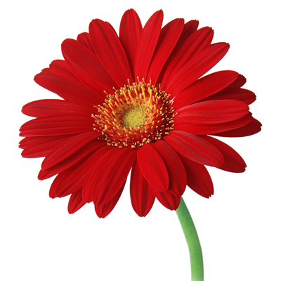 Gerbera  (I'll try harder)
