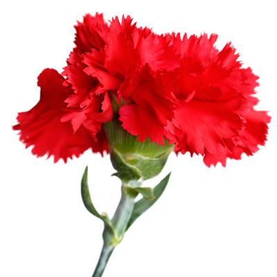 Dianthus (Admiration)