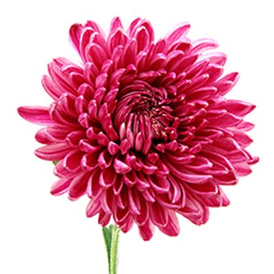 Chrysanthemum (Cheerfulness under Adversity)