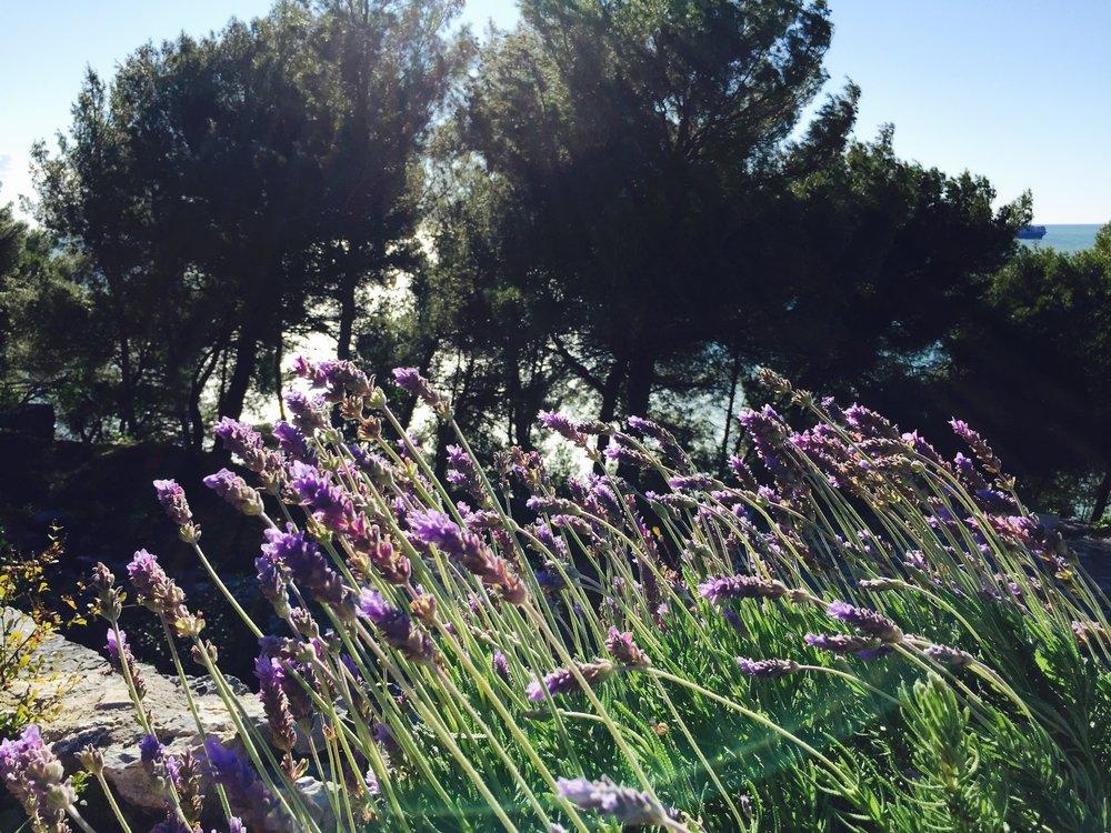 LavenderGroppina.jpg